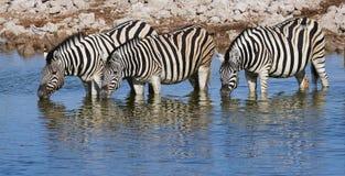 Three zebras drinking Royalty Free Stock Image