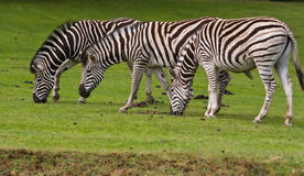 Three zebras eating Royalty Free Stock Photo