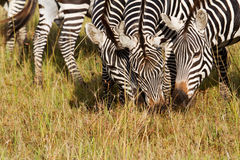 Three zebras. Eating grass in Africa Stock Photo