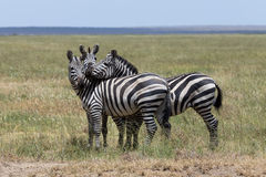Three zebras enjoying themselves Stock Photo