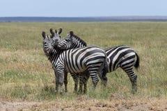 Three zebras enjoying themselves Stock Photo
