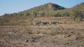 Three zebras gallop gracefully across the savannah in Africa