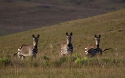 Zebras on a grass plain Royalty Free Stock Photography