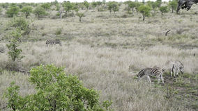 Three zebras graze on the savannah in Zimbabwe royalty free stock images