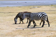 Three zebras grazing in a meadow Royalty Free Stock Photography