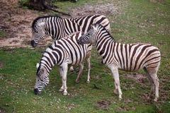 Three zebras grazing on pasture. Photo of three zebras grazing on pasture Royalty Free Stock Photo