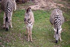 Three zebras grazing on pasture. Photo of three zebras grazing on pasture Stock Photo