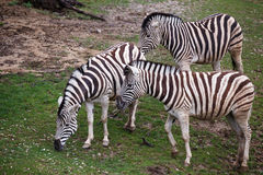 Three zebras grazing on pasture. Photo of three zebras grazing on pasture Royalty Free Stock Photos