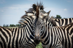 Three Zebras in a huddle Royalty Free Stock Photo
