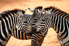 Three Zebras Kissing Stock Images