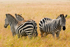 Three Zebras in the Maasai Mara, Kenya. Royalty Free Stock Photos