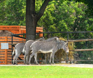 Three zebras Royalty Free Stock Image