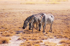 Three zebras pasturing at plain of Kenya, Africa Stock Image