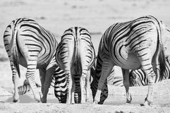 Three zebras photographed from behind Royalty Free Stock Photo