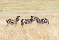 Three zebras in the savannah stock photos