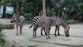 Three Zebras. Singapore -August 2016 Three zebras feeding in the enclosure at the Singapore Zoo royalty free stock image