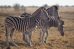 Three Zebras Standing on Green Grass Field Royalty Free Stock Photo