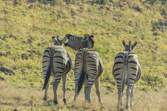 Three zebras standing in a row while one neighs Royalty Free Stock Photos