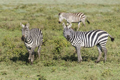 Three Zebras Royalty Free Stock Images