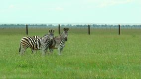 Three zebras in the steppes. One eating grass, and the two look at the camera stock video