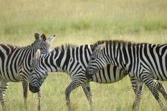 Three zebras Stock Images