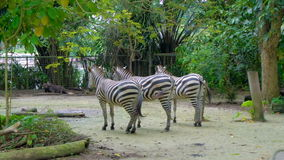 Three zebras wagging tails in zoo