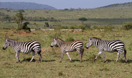 Three Zebras Walking in a row Stock Image
