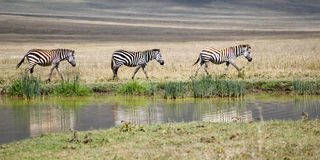 Three Zebras Stock Images