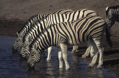 Three zebras at a watering hole Stock Image