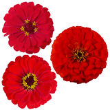Three of the zinnia flower. Bouquet bright colors of the zinnias, isolated on black background Stock Photos
