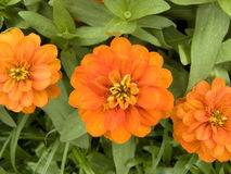Three Zinnia or Youth and Old Age Stock Photos