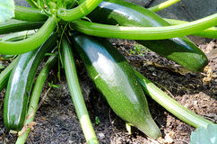 Three  zucchini in a bed Royalty Free Stock Photos