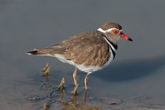 Threebanded plover Stock Photo