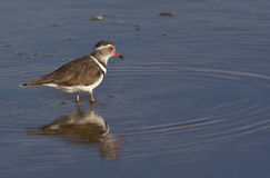 Threebanded Plover - Namibia Royalty Free Stock Photo