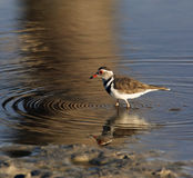Threebanded Plover - Namibia Royalty Free Stock Images