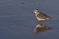 Threebanded Plover - Namibia Stock Photos