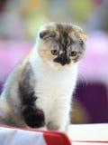 Threecolored kitten stock photography
