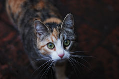 Threecoloured cat look at camera Royalty Free Stock Photo