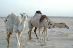 Threee camels. 3 camels walk in desert Stock Photography