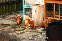 Threee free range hens pecking grain from bowl on organic farm. Threee free range hens pecking grain from bowl, organic farm concept stock photography