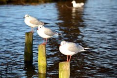 Threee resting birds Stock Images