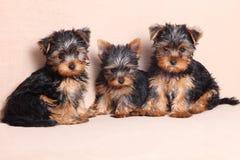 Threepuppy Yorkshire Terrier is geïsoleerd Stock Foto