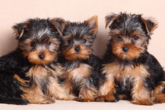 Threepuppy Yorkshire Terrier is geïsoleerd Royalty-vrije Stock Fotografie