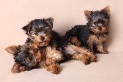 Threepuppy Yorkshire Terrier is geïsoleerd Royalty-vrije Stock Afbeelding