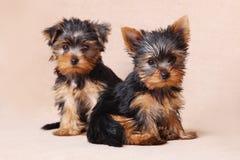 Threepuppy Yorkshire Terrier is geïsoleerd Stock Afbeeldingen