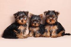 Threepuppy Yorkshire Terrier is geïsoleerd Stock Fotografie