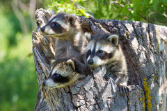 Threes company. Three baby raccoons in tree Royalty Free Stock Photo