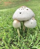 Threes a Crowd. Mushrooms bunched together under one another. Plants food grass growing many Stock Image