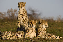 Threesome. Family of cheetah on the open plains Stock Image