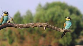 Threesome de las aves del paraíso que se sienta en una rama